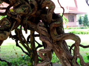 Gnarled and twisted at the Choeung Ek memorial stupa site - Choeung Ek, Kandal