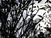 Frangipani buds - Choeung Ek, Kandal