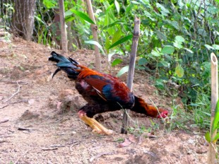 Rooster doing some exploring on the back path of the site - Choeung Ek, Kandal