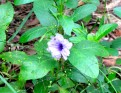 Lonely bloom along the back trail of the site - Choeung Ek, Kandal
