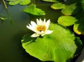 Lotus blossom floating in the garden pots - Silver Pagoda, Phnom Penh