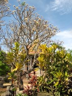 Spring blooms in front of the new main pagoda - Wat Samrong Knong, Battambang