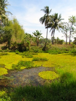 Onlookers may marvel at the idyllic setting only to be slightly jarred by the story that locals shot an electrical current in the pond that killed all the fish - Wat Samdech Mony, Battambang