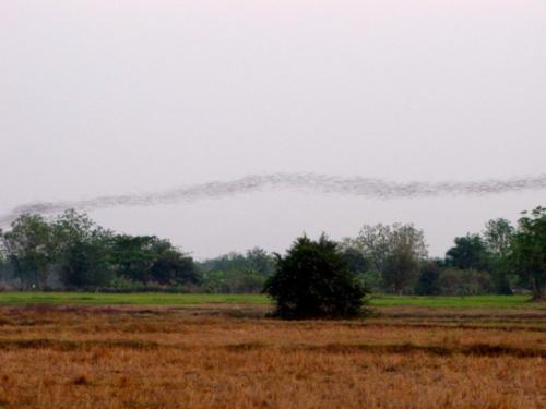 The bats of Phnom Sampeou on their regular flight at dusk - Sampeou, Battambang