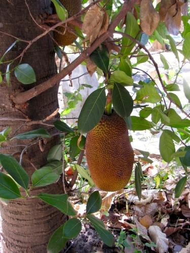 Jackfruit tree next to memorial - Wat Kesararam, Siem Reap