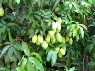 Carefully pruned mangos - Wat Champuh Ka'ek, Kandal