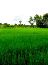 Field just outside the front gate of the memorial site - Choeung Ek, Kandal