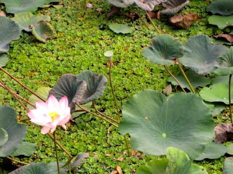 But now there are leaves and leaves and leaves and a flower - Phnom Chisol, Takeo