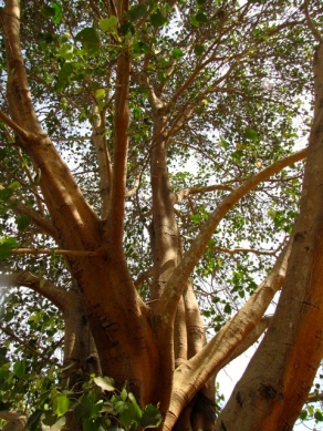 The branches of this tree reach far, one of the few left in front of the memorial - Wat Samrong Knong, Battambang