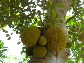 Droplet of jackfruits to be, hanging and growing - Moung Russei, Battambang