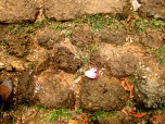 Solitary bloom lying on laterite path - Phnom Oudong, Kandal