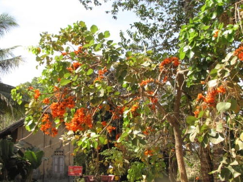 The orange blossoms that Sak recognized as the clandestine food he and other boys snacked on when they worked in the fields under the regime - Wat Samrong Knong, Battambang